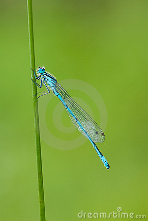 Free Damselfly - Common Blue (Enallagma Cyathigerum) Stock Photography - 9907102