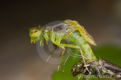Damselfly Emerging From Nymph Stage Stock Images - Image: 9744194