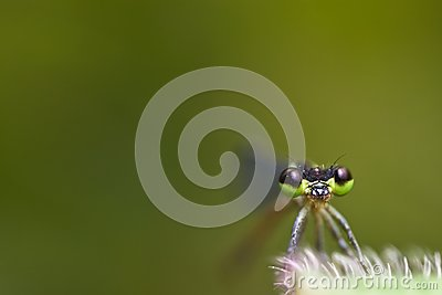 Damselfly Face with green background