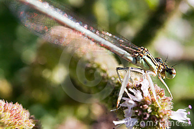 Damselfly resting on vegetation