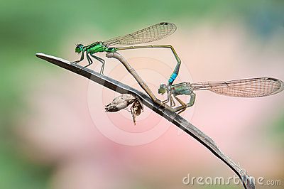 Damselfly in sex