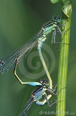 Free Damselflys Mating Royalty Free Stock Images - 614279