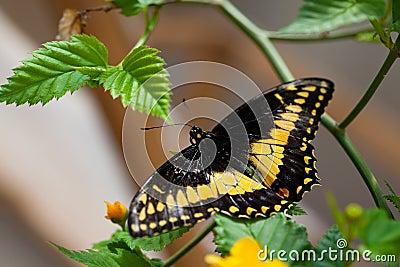 Danaidae butterfly