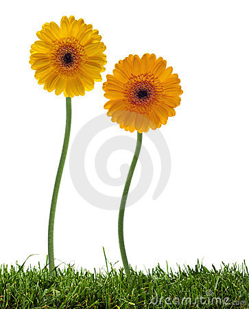 Free Dancing Daisies On The Lawn Stock Photo - 13788270