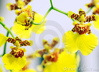 Dancing-Doll Orchid flowers