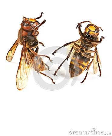Dancing hornet