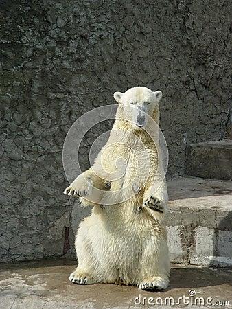 Free Dancing Polar Bear-she Royalty Free Stock Photo - 1854175