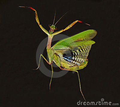 dancing praying mantis