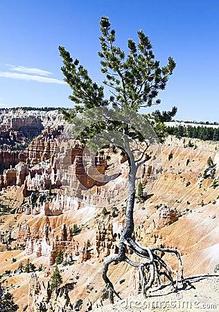 Free Dancing Tree, Bryce National Park, Utah Royalty Free Stock Image - 14373936