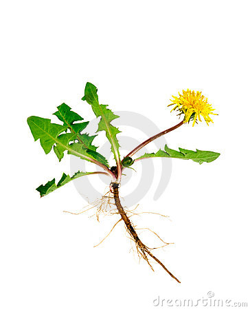 Free Dandelion Stock Photography - 10076862