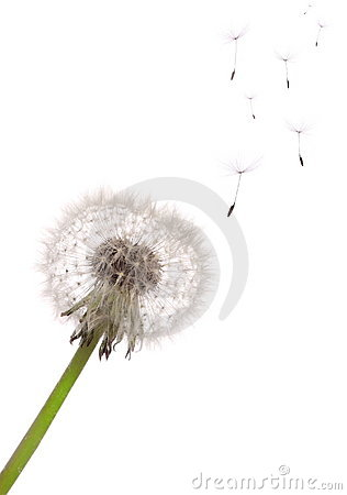 Free Dandelion Royalty Free Stock Photo - 14337345