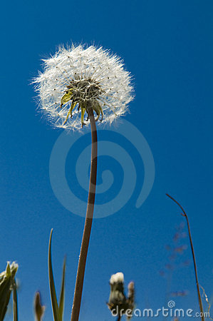 Free Dandelion Royalty Free Stock Photography - 15168227