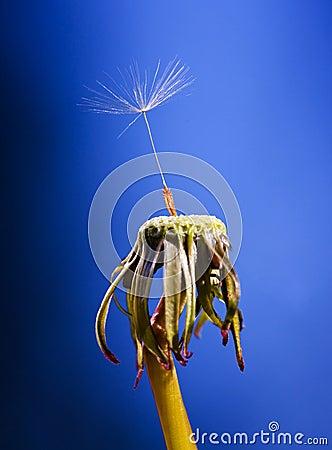 Free Dandelion Stock Photography - 15832202