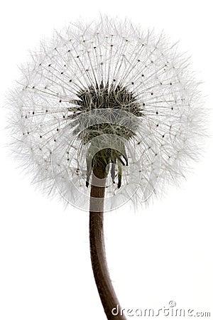 Free Dandelion Royalty Free Stock Image - 2204596