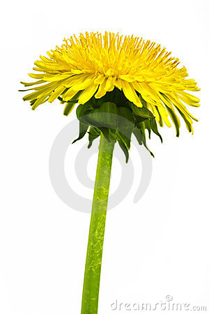 Free Dandelion Stock Photo - 2909830