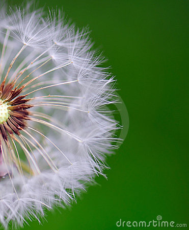 Free Dandelion Stock Photography - 5349152
