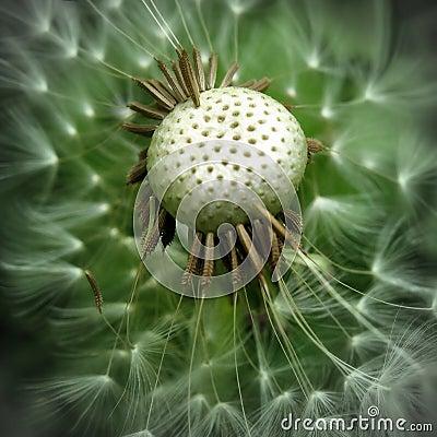 Free Dandelion Stock Photos - 5506153