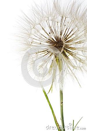 Free Dandelion Stock Photos - 6145203
