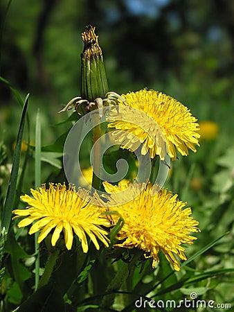 Free Dandelion Stock Photos - 8959293
