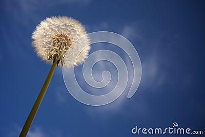 Dandelion Against Deep Blue Sky