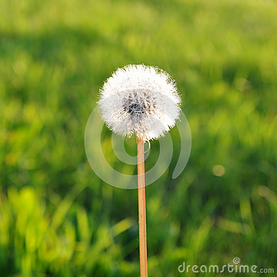 Dandelion against a Green Field