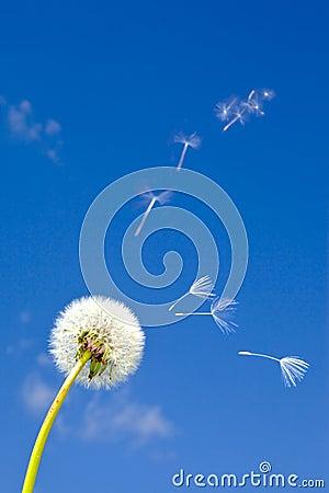 Free Dandelion And Flying Away Fuzzes Stock Photos - 15725633