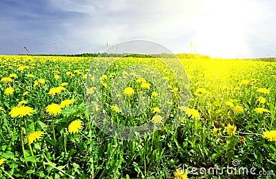 Dandelion on background distant