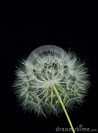 Dandelion (black background)