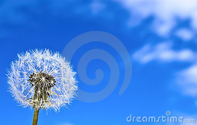 Dandelion on the blue sky background.