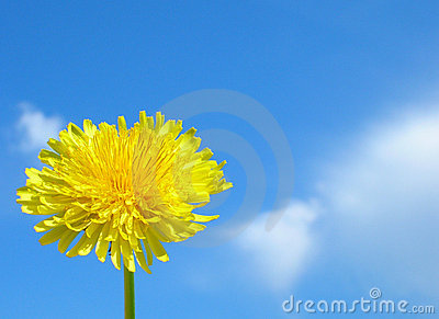 A Dandelion bright as the Sun