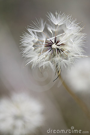Free Dandelion Changes Royalty Free Stock Image - 6317226