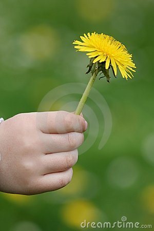 Dandelion in childy hand