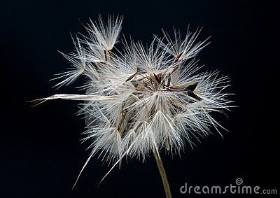Dandelion clock black background