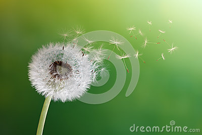 Dandelion clock in morning sun