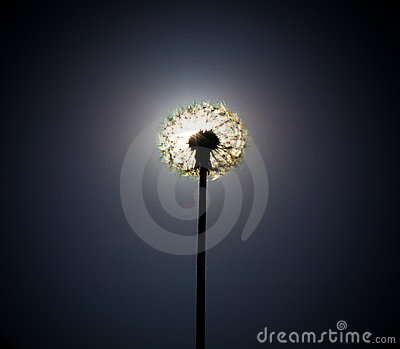 Dandelion close the sun disc