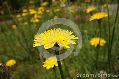 Dandelion close-up in long grass