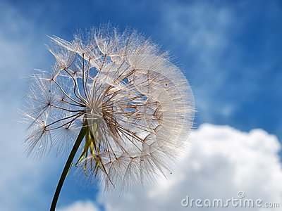 Dandelion and clouds