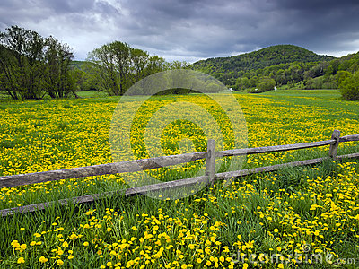 Dandelion covered field