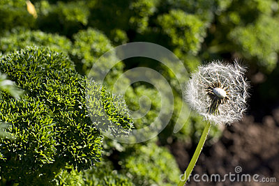 Dandelion and curly parsley