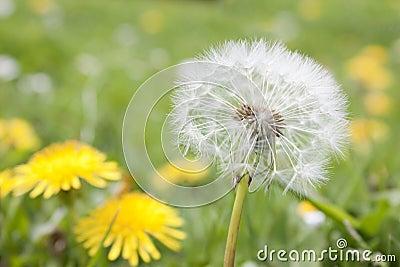 Dandelion in a field