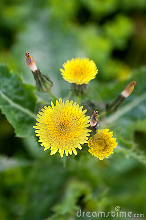 Free Dandelion Flower Stock Images - 14140284