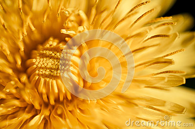 Dandelion flower growing close up soft light