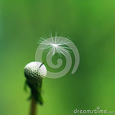 Free Dandelion Flower Macro Stock Photos - 24768973