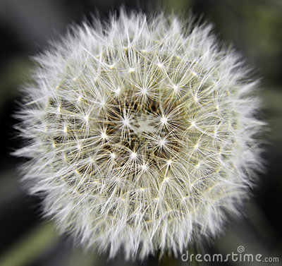 Free Dandelion Flower Pollen Royalty Free Stock Photography - 19574917