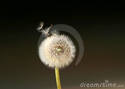 Dandelion Flower Spreading Seeds in the Wind