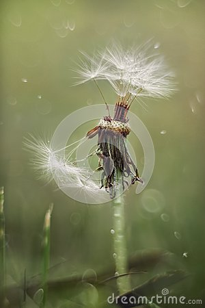 Free Dandelion Flower Under Rain Background Royalty Free Stock Photos - 120060528