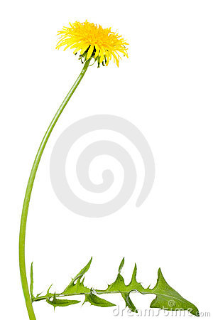 Free Dandelion Flower With Long Stem Stock Image - 5574251