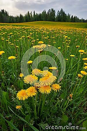 Free Dandelion Flowers Stock Photography - 51126332
