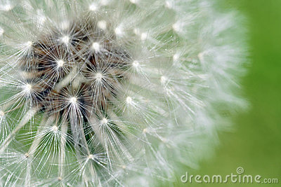 Dandelion fluffy seeds macro