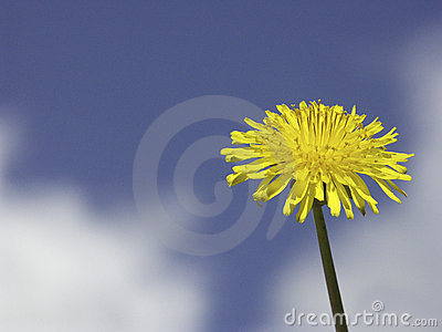 Dandelion in front of sky